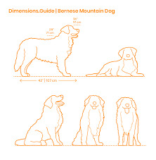 Bernese Mountain Dog Dimensions Drawings Dimensions Guide