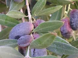 20 Best Fruit Trees In Phoenix Images On Pinterest  Fruit Trees Az Fruit Trees