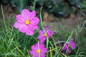夏の庭のコスモスの花自然な背景 ロイヤリティーフリーフォト