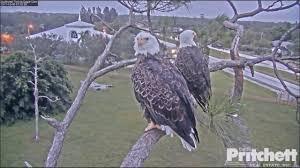 pritchett eagle cam. Fine Eagle SWFL Eagle Cam  Top Of The Morning To Ya Oct 5 2017 Inside Pritchett I