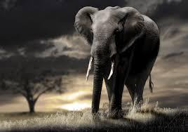 elephant 4k hd for desktop download #4K ...