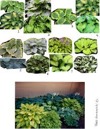 Small Picture Designing Planting a Hosta Garden Fred Gonsowski Garden Home