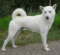 like many anese breeds the kishu is a very quiet dog and it makes a nice um sized family panion