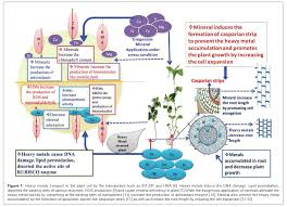 exogenous mineral regulation under heavy metal stress advances biochemistry pharmacology heavy metals transport plant cell transporters