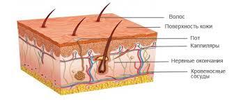 Как устроен организм человека Детская онлайн энциклопедия Хочу  Структура кожи человека