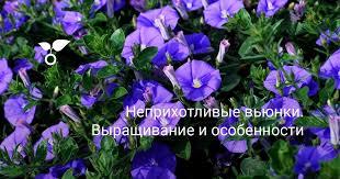 Неприхотливые <b>вьюнки</b>. Выращивание и особенности. Названия ...