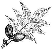 pecan tree clip art.  Tree Plant Carya Pecan Inside Pecan Tree Clip Art