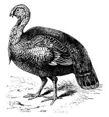 wild turkey clipart black and white. Delighful Black Turkey Vintage Engraved Illustration Natural History Of Animals 1880 For Wild Turkey Clipart Black And White L