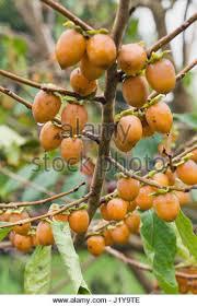 Date Plum Tree Diospyros Lotus Stock Photos U0026 Date Plum Tree Lotus Fruit Tree