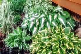 how to keep your hosta plants looking