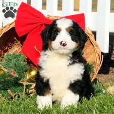 a bernedoodle miniature puppy named garth