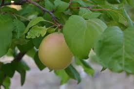 ShaaKarPareeh Iran  2995  Trees Of Antiquity Heirloom Fruit Iranian Fruit Trees