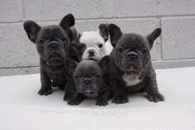 are you looking for a french bulldog puppy