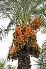 Red Small Fruit On Palm Tree At Nature Stock Photo Picture And Palm Tree Orange Fruit