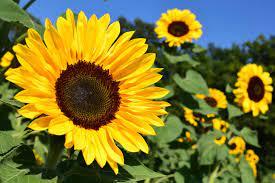 Ilmainen kuva: kukka, auringonkukka, maatalouden, ympäristön, auringonvalo