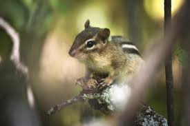 how to keep chipmunks out of garden. Exellent How Inside How To Keep Chipmunks Out Of Garden