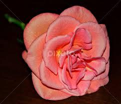 Lonely Rose   Single Flower   Flowers   Pixoto
