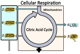 Complete The Chart For The Stages Of Cellular Respiration Biology