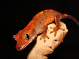 habitat crested geckos are native to new caledonia s tropical regions so they need a tall tank for climbing space you can house two crested geckos