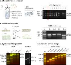 In Vitro Synthesis Of Gene Length Single Stranded Dna