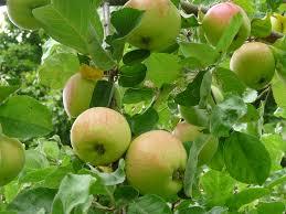 Bildresultat för äpplen