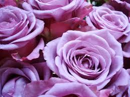 「薔薇 クールウォーター 無料」の画像検索結果