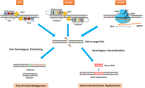 Genome Editing Genome Editing Technologies And Their Applications In Crop