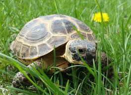 Russian Tortoise Age Size Chart Caring For A Russian Tortoise Russian Turtle Caresheet Petmd