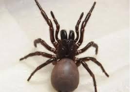 Spider Identification Chart Australia Spider Identification Chart Pest Prevention Specialists