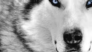 Wolf Close Up Face Hd Wallpaper 4k Ultra Hd Hd Wallpaper
