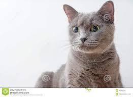 Russisch Blauw Pluizig De Emotiegeluk Van Het Katten Mooi Portret