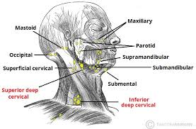 Lymphatic Drainage Of The Head And Neck Teachmeanatomy