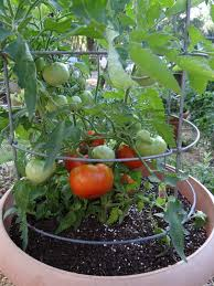 Carmellou0027 Tomato Growing In A 15gallon TerraCotta PotWeek 13 Container Garden Plans Tomatoes