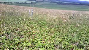 File:Клубничные луга (Fragaria viridis).jpg - Wikipedia