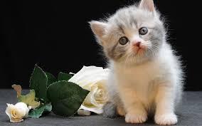 wallpapers munchkin cat