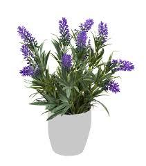Lavendel Das Kleine Lila Wunder Pflanzensteckbrief