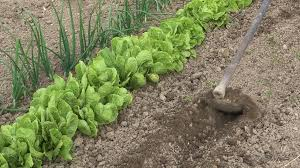 old farmer hoeing the ground and preparing the furrow for planting man working soil in home garden to plant and producing organic vegetables stock video