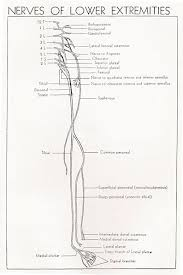 Sciatic Nerve Flow Chart Sciatic Nerve Anatomy Orthobullets
