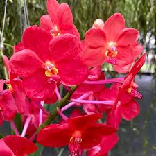 Vanda [Ascda.] Ashley Lowe — Palmer Orchids