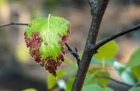 apple scab garden pests diseases