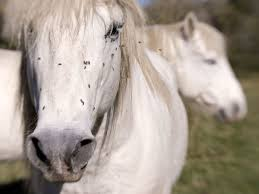 reduce flies on your horses and