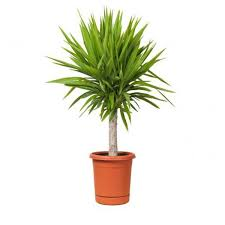 yucca is a tough plant that can be grown both indoors and outdoors it quickly becomes large if sufficient light is provided when growing yucca indoors