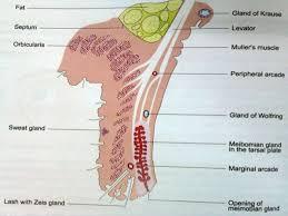 Eyelid Anatomy Anatomy Physiology Of Eyelids