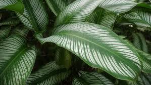 pinstripe_plant