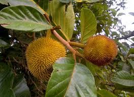 BLACKBERRY CULTIVATION IN KERALA  YouTubeKerala Fruit Trees