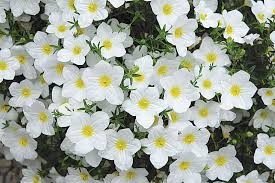 lara white cup flower nierembergia photo ball horticultural company