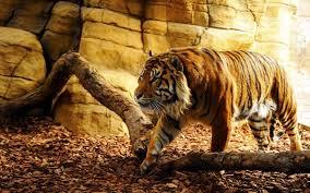 tiger wallpaper desktop. Brilliant Desktop Big Tiger Wallpaper HD Download For Desktop Of Wild In L