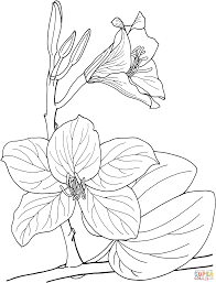 Bauhinia Tropical Orchid Tree Coloring Page