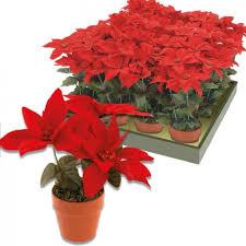 Weihnachtsstern Mit Topf Rot Künstlich Kunstblume W Real