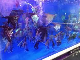 angel fish aquariam ramling khind galli aquariums in belgaum justdial